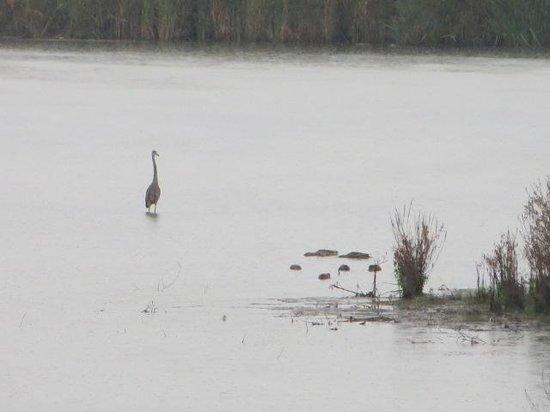 Waterfront Trail: Heron