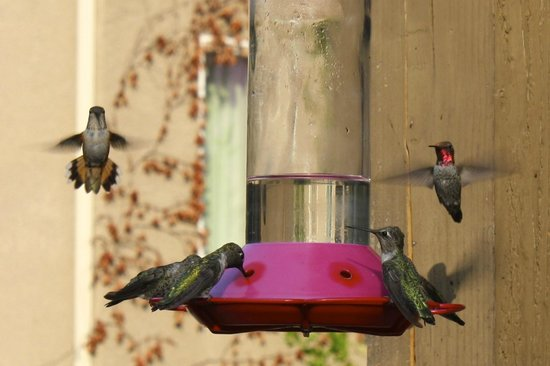 Yosemite Blue Butterfly Inn: Hummingbirds on the deck