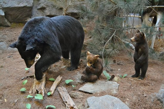 Algonquin Visitor Centre: Black Bear & Cubs
