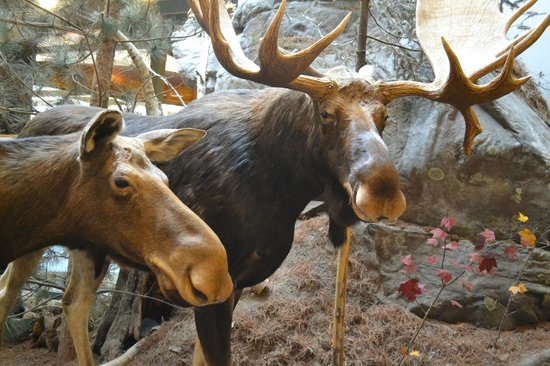 Algonquin Visitor Centre: Moose couple up close