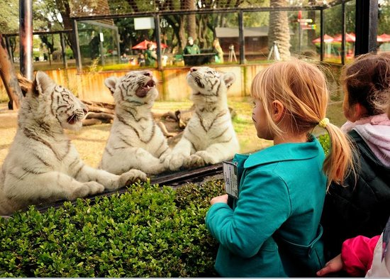 Zoo de Buenos Aires: Los bebes de tigre blanco