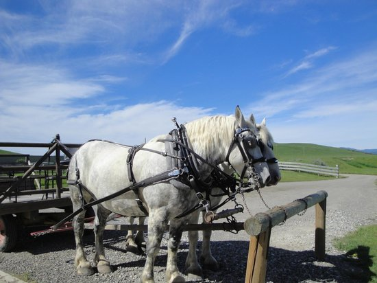 Longview, Canada: Percheron Draft horses