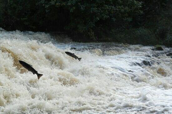 Forss House Hotel: two salmon leaping up the forss spectacular viewing just 50 yards from hotel