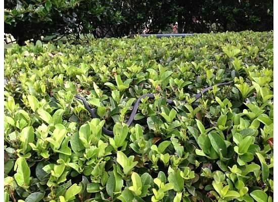 Marriott's Grande Vista : Snake in a bush.