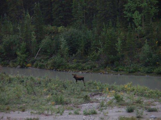 Denali Princess Wilderness Lodge: Moose - behind Princess Denali Lodge