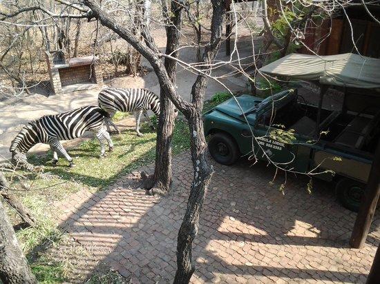 Jabula Lodge : zebras walking around the lodge