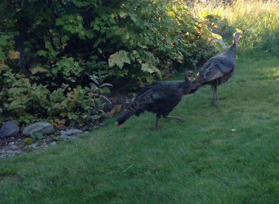Kandahar Lodge : Wild turkeys in the garden