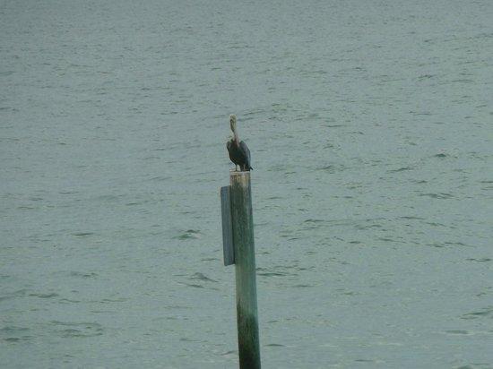 Pier 60: Pelican