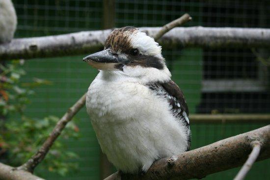 Coolwood Wildlife Park: kookaburra