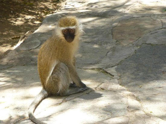 Samburu Intrepids Luxury Tented Camp: Monkeys on the path