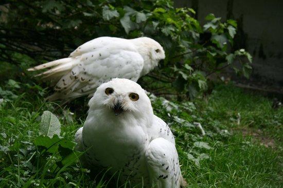 Coolwood Wildlife Park: Snow owls