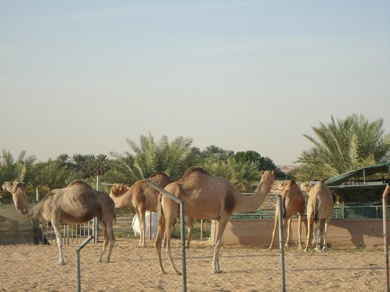 Arabian Team Adventures: camel farm