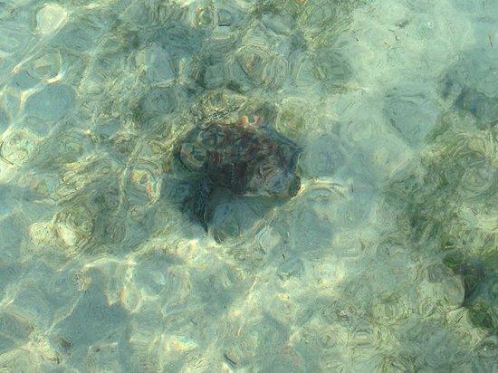 Green Island Resort : Turtles abound