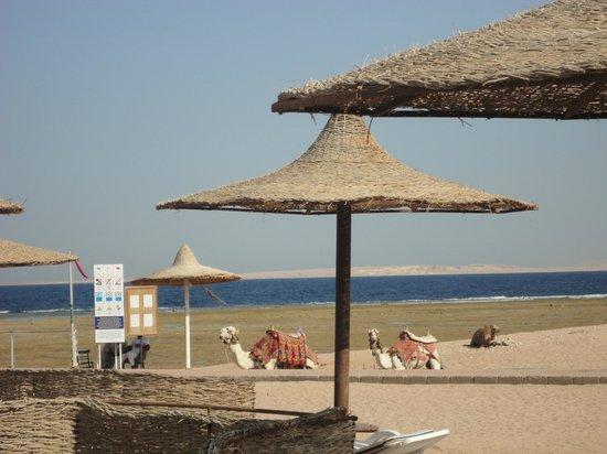 TUI Magic Life Sharm el Sheikh: Beach with camels