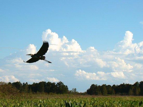 Alligator's Unlimited  Airboat Nature Tours: Wild Life