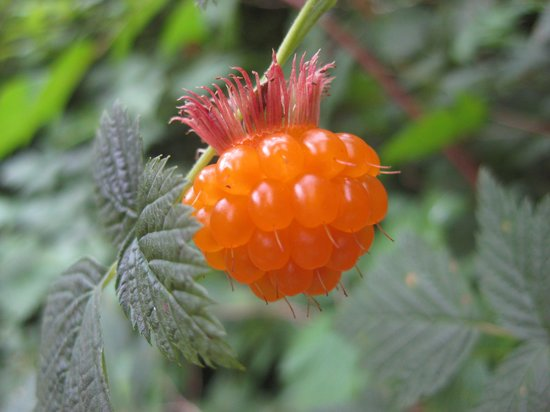 Inland Lake Provincial Park: Salmon berry.