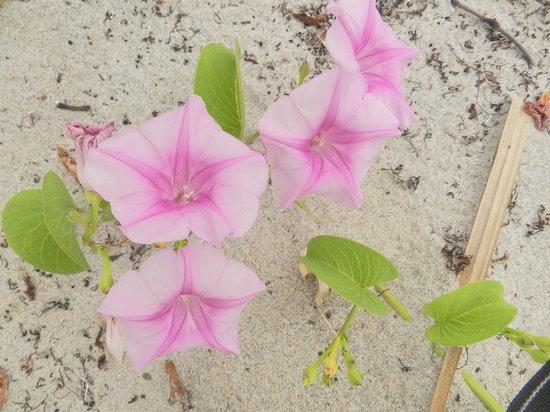 John D. MacArthur Beach State Park: more wild flowers