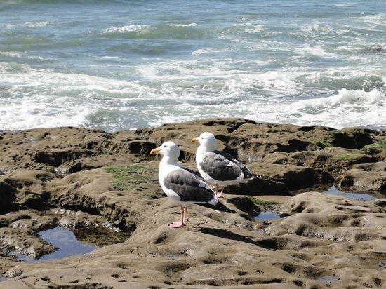 Sunset Cliffs Natural Park: Seagulls