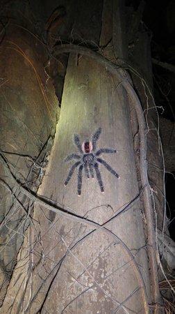 Amazonia Expeditions' Tahuayo Lodge: Pink toe tarantula