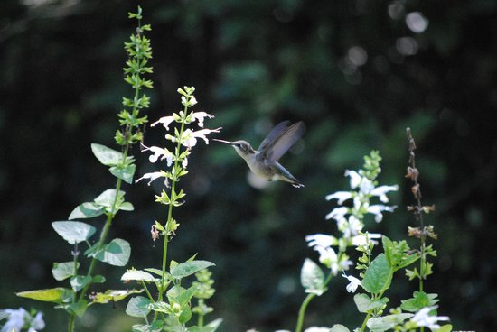Leaming's Run Gardens: Magical September Hummingbird!