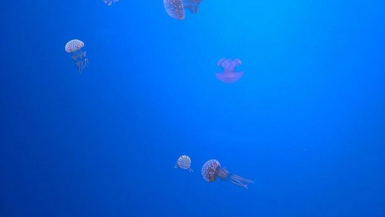 Ripley's Aquarium of the Smokies: Small Jellies