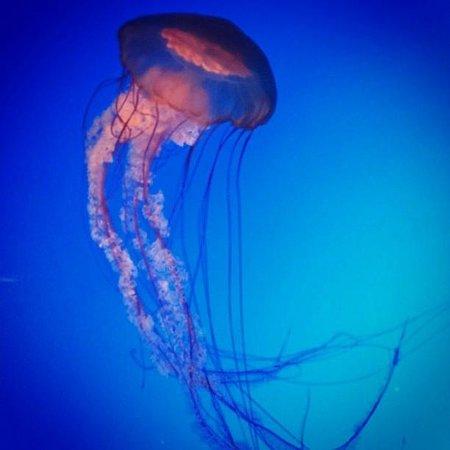 Ripley's Aquarium of the Smokies: Jelly