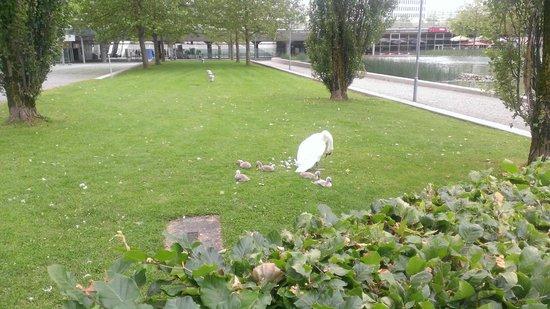 Novotel Munchen Messe: Baby swans!!!