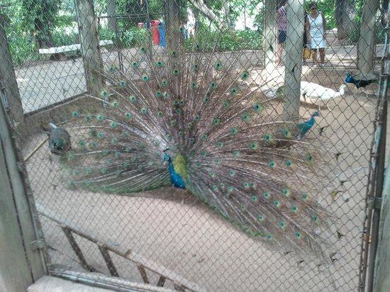 Parque Portugal: Pavão