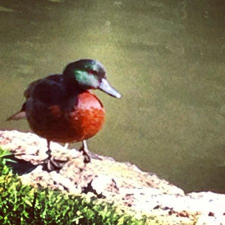 Moulin de Fresquet: The ducks