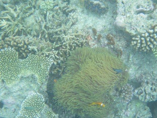 Rihiveli by Castaway Hotels & Escapes: Nemo fish