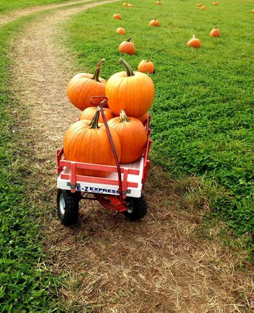 Washburn's Windy Hill Orchard: Selected pumpkins on available wagons for hauling