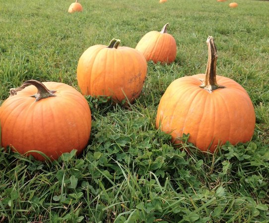 Washburn's Windy Hill Orchard: Pumpkins to select