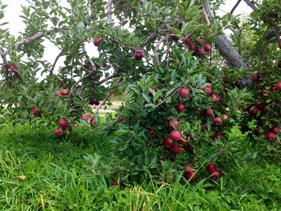 Washburn's Windy Hill Orchard: Cortlands in upper orchard