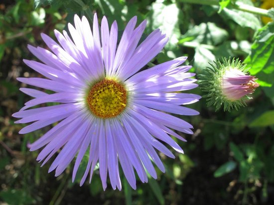 Aguirre Spring National Recreation Area: Purple Daisy Wildflower