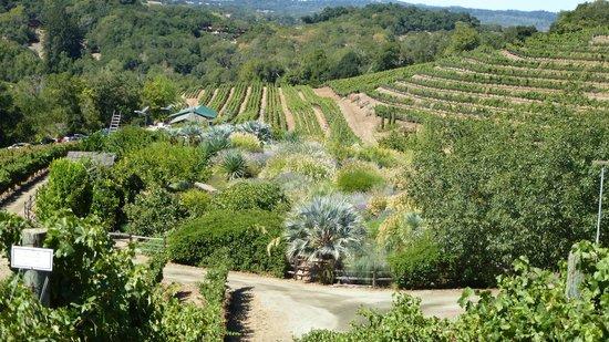 Benziger Family Winery: Vineyard