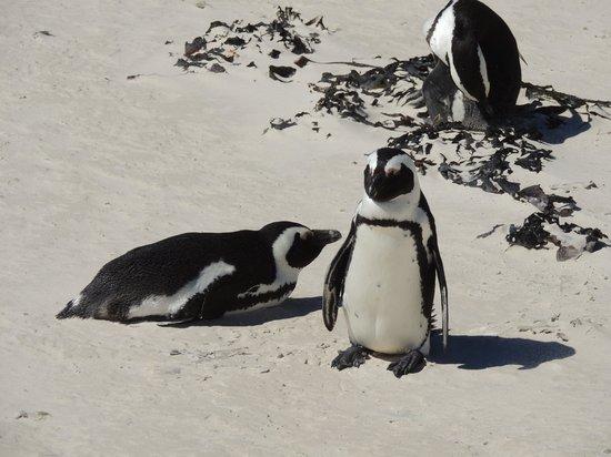Cape of Good Hope: os pinguins