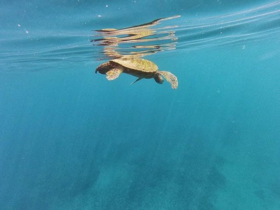 Hawaiian Paddle Sports: Turtle