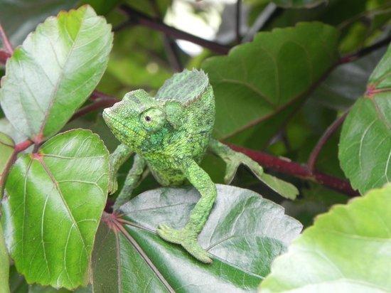 Ali'i Kula Lavender Farm: The  green Camilion