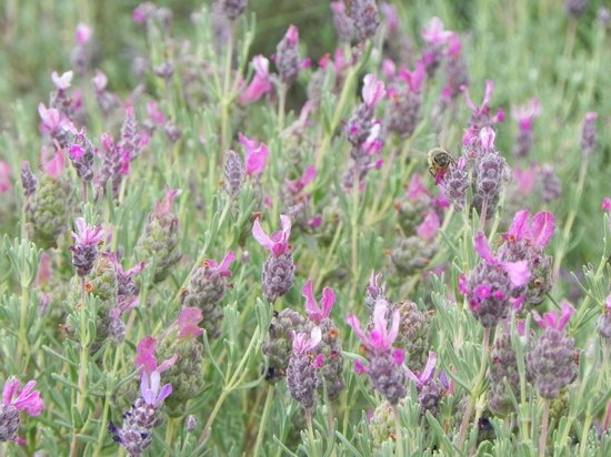 Ali'i Kula Lavender Farm: The lavender with bee