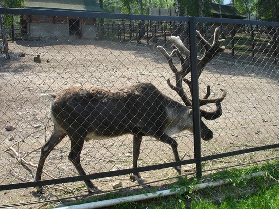 Roev Ruchey Zoo: Красноярский парк флоры и фауны Роев ручей. Марал