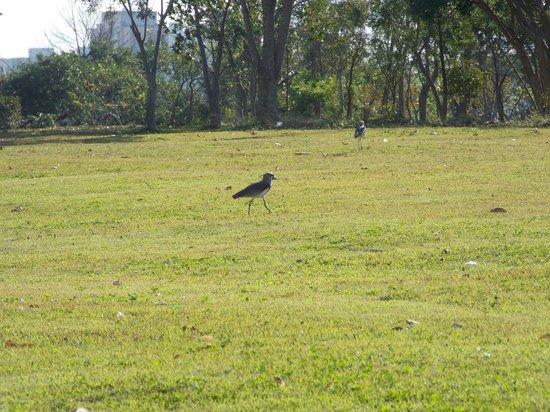 Villa Lobos Park: Espécies de pássaros pelos gramados