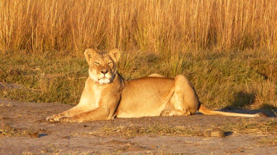 Sikumi Tree Lodge: lioness at dawn