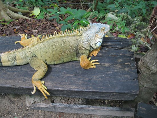Dolphin Cove: Iguana on the nature trail