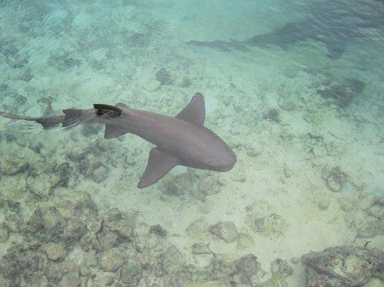 Dolphin Cove: Shark