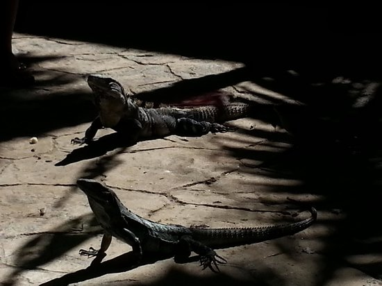 Occidental at Xcaret Destination: lil dragon iguana's chillin on the patio...lol..cute!! ♥
