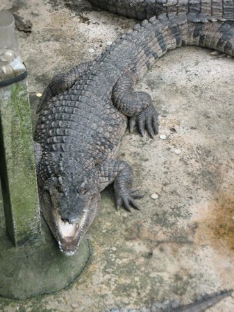 Palawan Wildlife Rescue and Conservation Center: Posing Crocodile