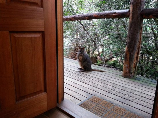 Cradle Mountain Highlanders Cottages: Pademelon at the door
