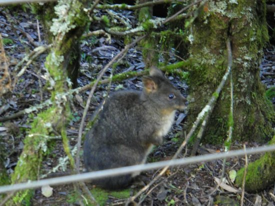 Cradle Mountain Highlanders Cottages: Pademelon waiting outside