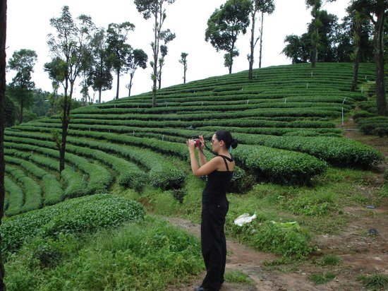 Golden Triangle Tours - Day Tours: Doi Mae Salong : Tea Plantation