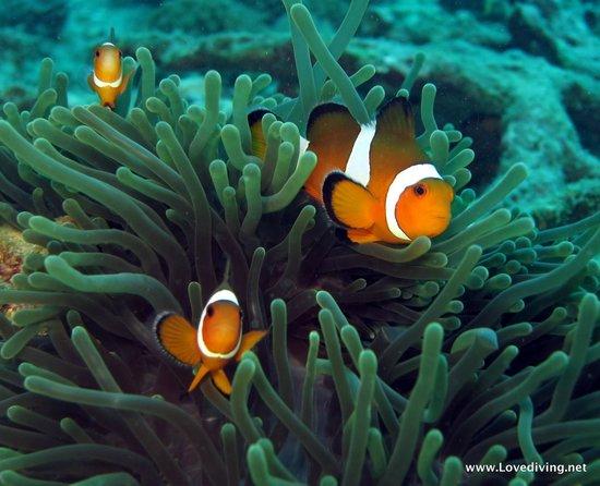 เลิฟ ไดวิ่ง ภูเก็ต: Nemo with Love Diving Phuekt